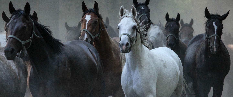 Arabian Horses The Pride Of Poland Poland Pl